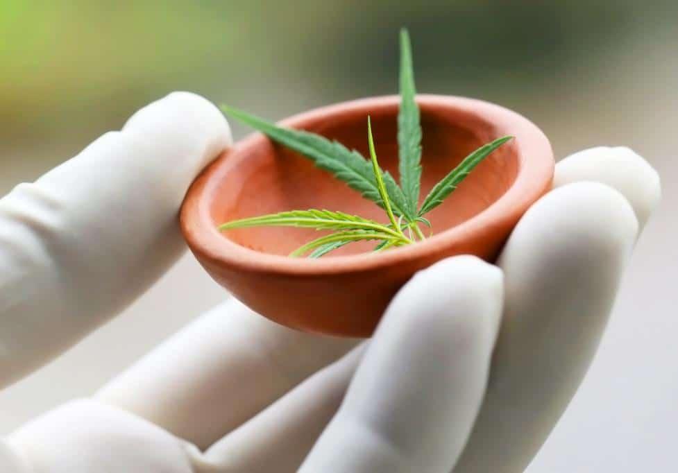 cannabis or marijuana leaves