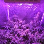 Advantages and Disadvantages of Using LEC Lights to Grow Cannabis