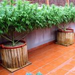 Growing Good Weed on Your Balcony or Terrace