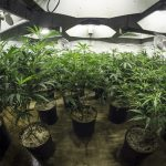 How to Increase Your Cannabis Yields by Using a Lux Meter