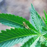 Biological Pest Control for Cannabis Plants