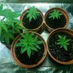 What Can You Do About Slow Cannabis Plant Growth