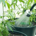 How Fertigation Brings Precision to Cannabis Nutrient Application