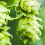 New Hops Strain Rich in Cannabidiol Has Been Created