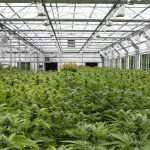 A Short Guide on How to Grow Cannabis with the 12-12 Lighting Method
