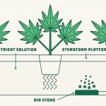 Can We Grow Organic Cannabis Using Hydroponics?
