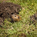 How Gophers and Moles Can Affect Your Outdoor Cannabis Garden